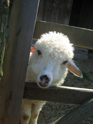 2007_07_19_best4_sheep