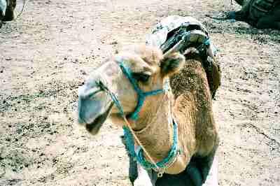 1997-01_camel1_1.jpg