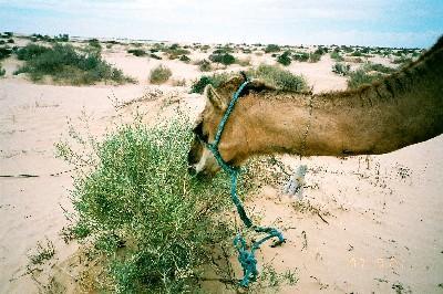 1997-02_camel_mustafa1.jpg