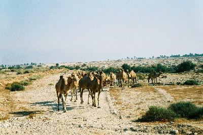 1998_camels1.jpg