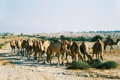 1998_camels2.jpg