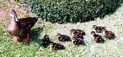 2003_WienShoenbrun_Ducks_zoom