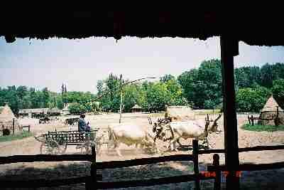 2004_horse_show_cows.JPG
