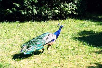 2005_animal_03_peacock