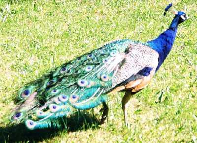 2005_animal_03_peacock_zoom