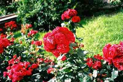 rose_Brno.jpg