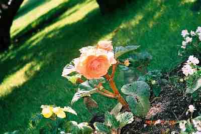 rose_KV.jpg